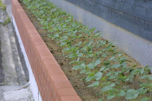 2008年2代目の幸運の大豆