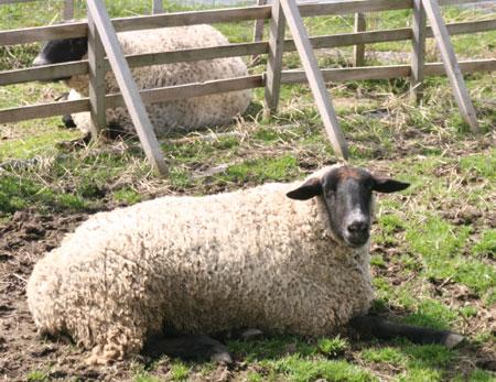 2009年春の羊さん、暑いよー