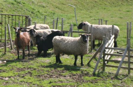 金沢大地の羊とヤギ